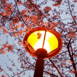 南京的樱花