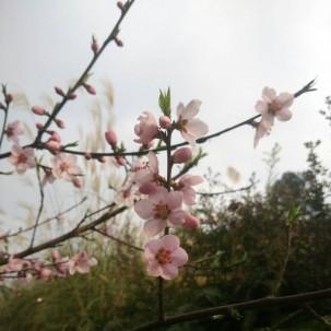 小村的桃花盛开了,新一年的春天来了。